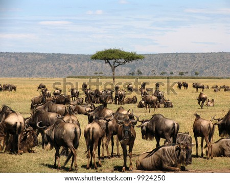 Wilderbeast Migration in the Masai Mara - stock photo