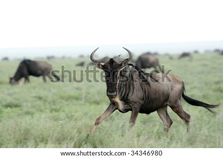 Wilderbeast  - Serengeti Wildlife Conservation Area, Safari, Tanzania, East Africa - stock photo