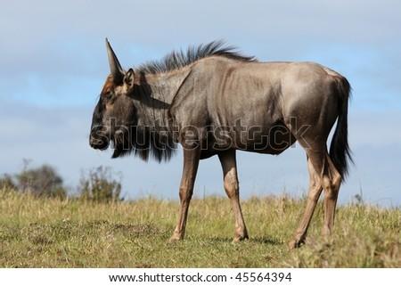 Wilderbeest antelope on grassy African plain - stock photo