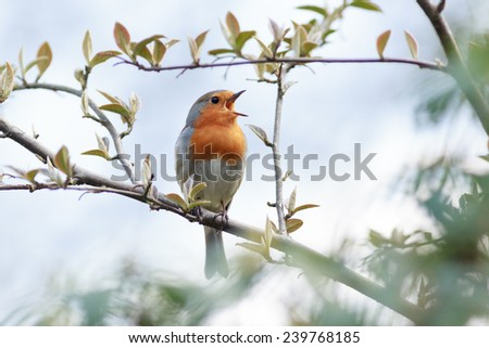 Wildeshausen (Low Saxon: Wilshusen), Lower Saxony, Germany. Robin (Erithacus rubecula).Wild bird in a natural habitat. - stock photo