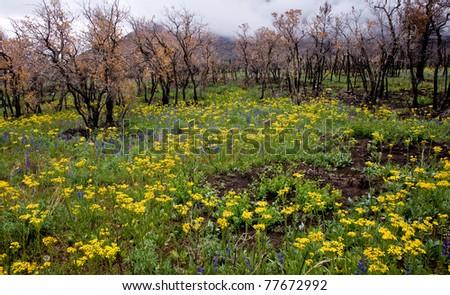 Wildfire Wildflowers - Manti-LaSal National Forest, Utah - stock photo