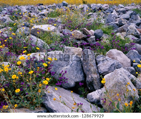Wildflower bloom in Death Valley, California - stock photo