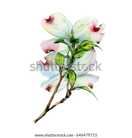 wildflower dogwood flower in a watercolor style isolated full name of the plant dogwood - Dogwood Flower