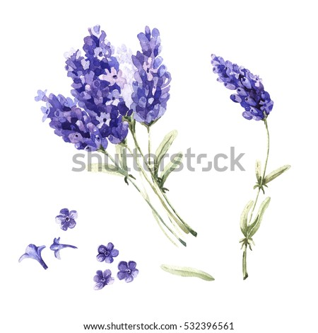 Wildflower lavender flower in a watercolor style isolated. Full name of the plant: lavender. Aquarelle wild flower for background, texture, wrapper pattern, frame or border.