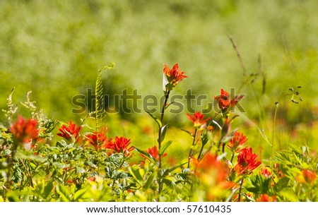 Wildflower meadow of Indian Paintbrush on a mountain slope in Western Washington - stock photo