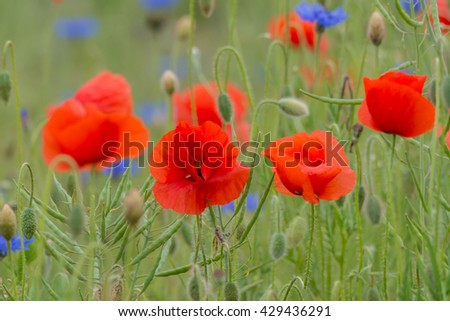 Wildflower meadow with red poppy and blue cornflowers - stock photo
