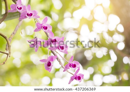 Wildflower orchid,Orchids scientific name is Dendrobium parishii Rchb.f.,Orchid's family is ORCHIDACEAE.  beautiful orchid design for desktop background