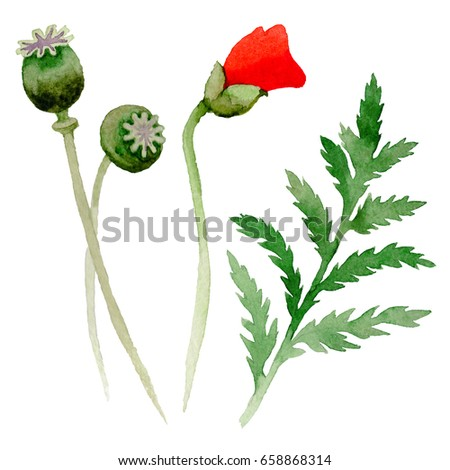 Wildflower poppy flower leaf watercolor style stock illustration wildflower poppy flower leaf in a watercolor style isolated full name of the plant mightylinksfo