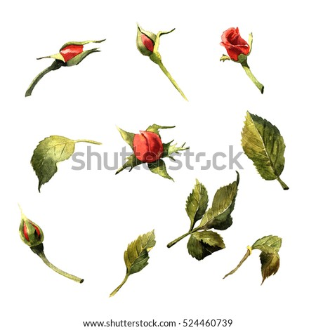 Wildflower rose flower in a watercolor style isolated. Full name of the plant: red rose,hulthemia, rosa. Aquarelle wild flower for background, texture, wrapper pattern, frame or border.