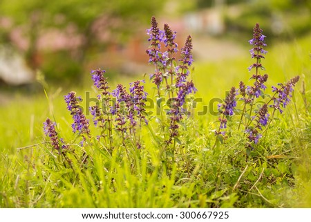 Wildflowers Altai: Zmeegolovnik drooping (Dracocephalum nutans). - stock photo