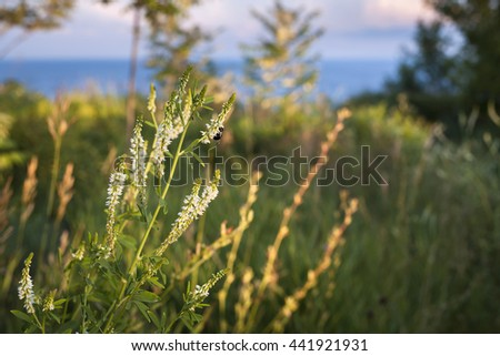 Wildflowers and bee backlit by setting sun in grassy meadow on top of coastal cliffs. Lake Ontario, Canada. - stock photo