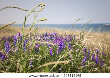 Wildflowers and grasses on Atlantic ocean shore of Prince Edward Island, Canada. - stock photo