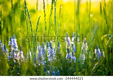 wildflowers and green grass closeup with bokeh on sunset. selective focus - stock photo