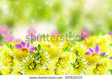 Wildflowers daisies. Flowers dahlias and chrysanthemums - stock photo