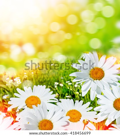 Wildflowers daisies. Summer landscape. delicate spring flowers - stock photo