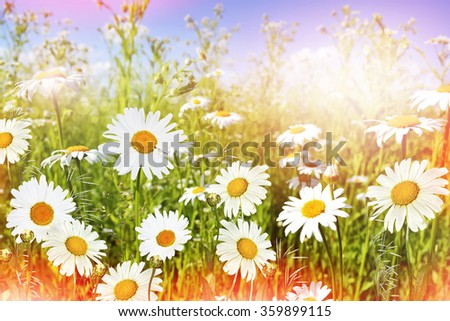 Wildflowers daisies. Summer landscape. white chamomile flowers - stock photo