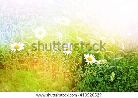 Wildflowers daisies. Summer landscape. white chamomile flowers