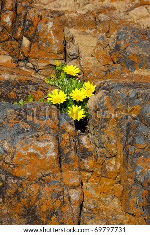 Wildflowers growing in a small crevice in lichen-encrusted rocks near the Knysna Heads, South Africa.