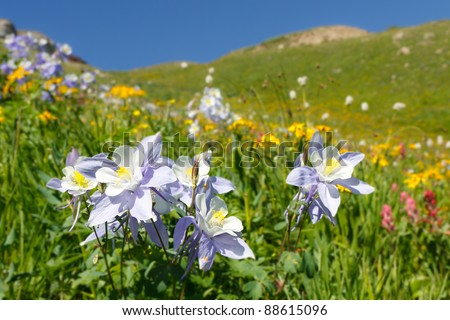 Wildflowers in full bloom on alpine meadow in the Rocky Mountains along the Colorado Trail. - stock photo