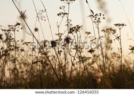 wildflowers in the backlight - stock photo