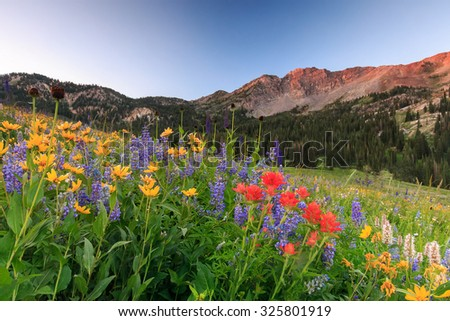 Wildflowers in the Wasatch Mountains, Utah, USA. - stock photo