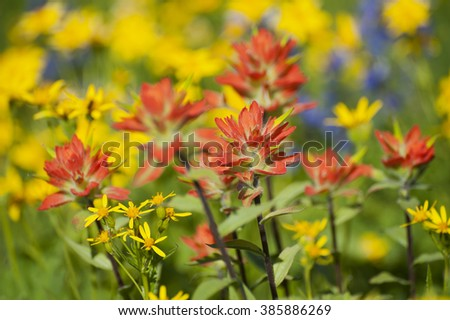 Wildflowers on Mt. Baker. A colorful carpeting of wildflowers decorates the hillside of Mt. Baker, Washington along the Heliotrope Ridge hiking trail. Lupine, Indian Paintbrush, and Yellow Asters. - stock photo