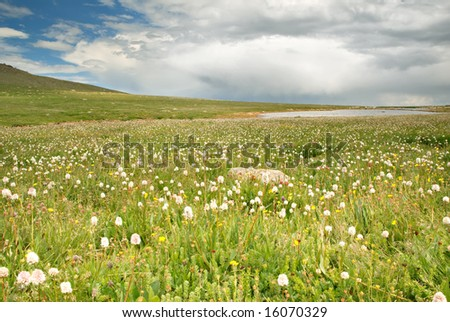 Wildflowers on the tundra in Colorado. - stock photo