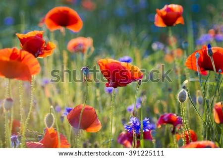 Wildflowers poppies - stock photo