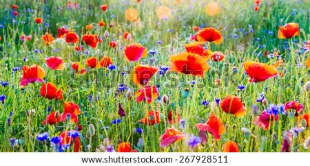 Wildflowers: poppies and cornflowers - stock photo