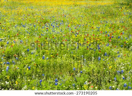 Wildflowers Texas Hill Country Spring Near Austin - stock photo