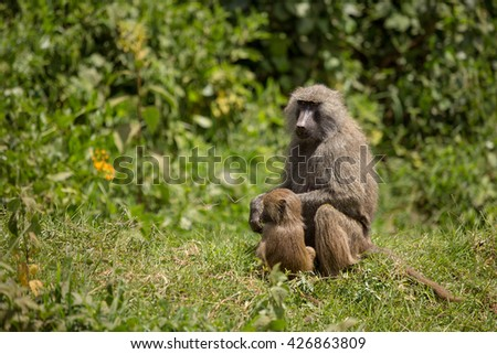 Wildlife baboon in african savanna