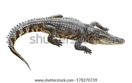 Wildlife crocodile isolated on white background with clipping path - stock photo
