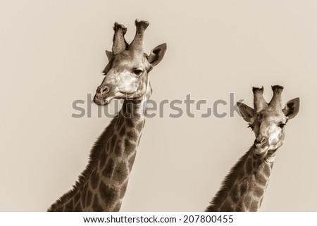 Wildlife Giraffes Heads Close-Up Sepia Vintage Wildlife giraffes two heads close-up portrait in sepia tone vintage - stock photo