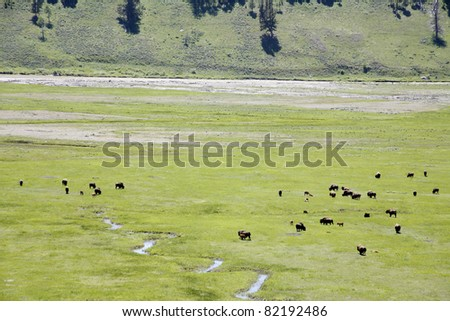 wildlife of buffaloes in Yellowstone national park - stock photo