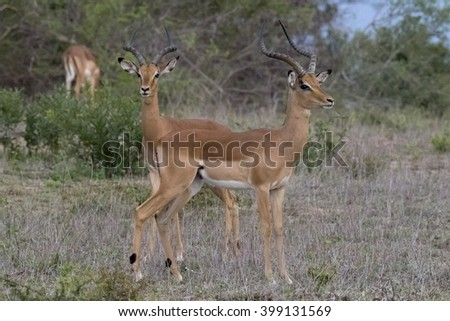 Wildlife of South Africa's Kruger National Park - impalas