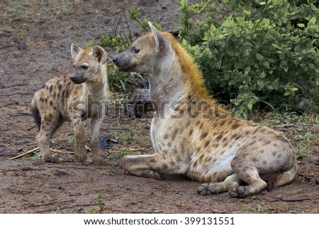 Wildlife of South Africa's Kruger National Park - mother and child  spotted hyenas  - stock photo