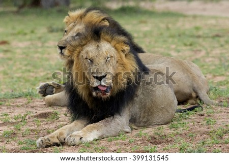 Wildlife of South Africa's Kruger National Park - wounded lions after injury during attack. - stock photo
