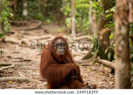 Wildlife orangutan in Borneo forest of Indonesia. - stock photo