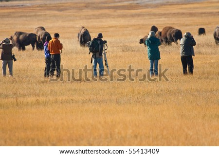 Wildlife photographers move in close to a herd of bison in Yellowstone National Park - stock photo