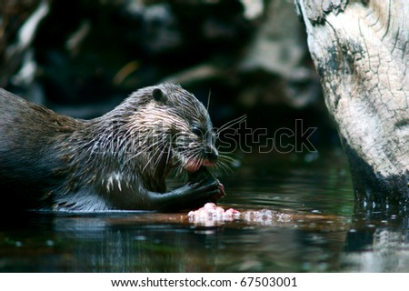 wildlife portrait of asian small clawed otter eating fish in water - stock photo