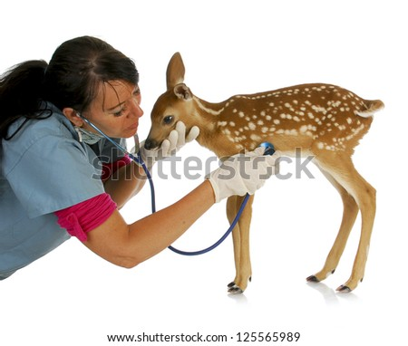 wildlife veterinary care - veterinarian treating baby fawn isolated on white background - stock photo