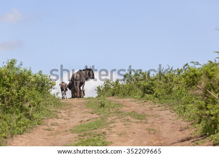Wildlife Wildebeest Animals Blue wilderbeest wildlife animals on dirt road wilderness summer landscape.