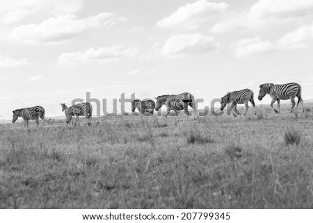 Wildlife Zebra Herd Black White Vintage  Wildlife zebra animals on grassland plateau reserve in Black white vintage tone - stock photo