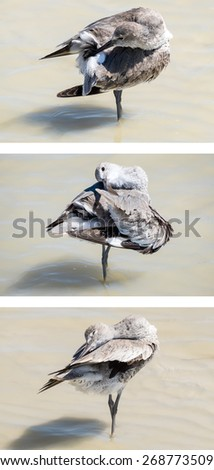 Willet Bird Grooming on the Beach - stock photo