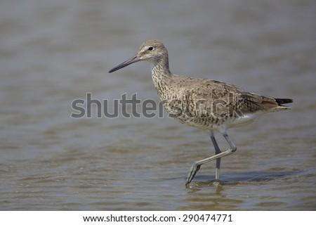 Willet (Tringa semipalmata) wading in shallow water - Bolivar Peninsula, Texas - stock photo