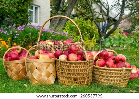 Willow baskets with apples on a green lawn near the rural house. Concept of a autumn harvest - stock photo