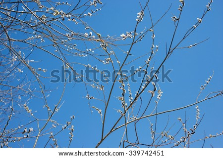 Willow blossom, Early spring, snow in the spring. The nature of the spring. Nature wakes up and blooms. Willow in the wild forest. Willow close. Blue sky - stock photo