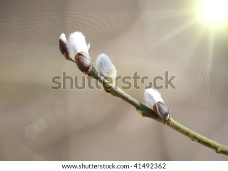 Willow branch with buds - stock photo