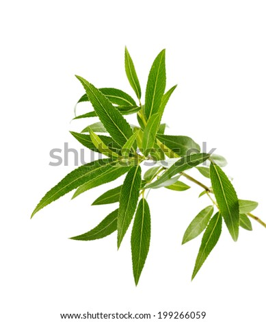 willow branch with green leaves isolated on white