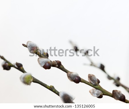 Willow branches on a white background - stock photo